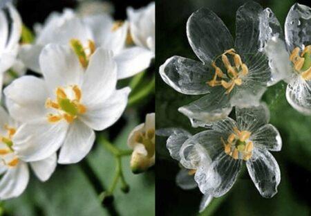 【高山植物】本州から北海道に分布、濡れると透明になる美しい花が話題に(・∀・)