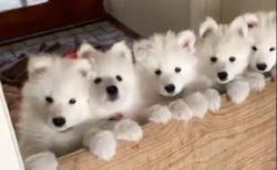 【5匹!】きちんと並んだサモエドの子犬達がたまらなく可愛いw
