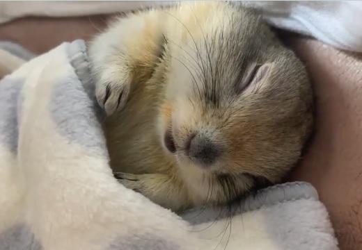 【動画】すやすや眠るジリスが話題に「口が動くの可愛いすぎる!」