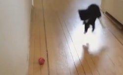【動画】ボール1つに激しすぎる猫が話題に「無駄な動きが凄いw」