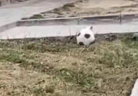 【w】サッカーボールみたいな猫が話題に「怒ってるw」「そっくり!」