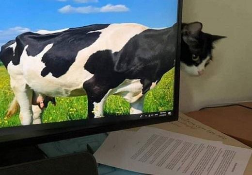 【?!】思わず牛と一体化した猫が話題にw 「びっくりした!」
