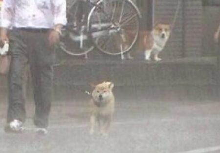 【w】豪雨のなか散歩する柴犬と、後ろから見つめるコーギーが話題に