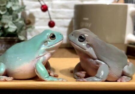 【ペチン】見つめ合うカエル、仲良しかと思ったら突然ビンタ!