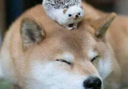 【ちょこん】柴犬とハリネズミの2ショットがたまらなく可愛いw