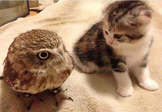 【ひゃー】友達になった子猫とフクロウが素敵すぎるw