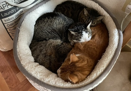 【ぎゅっ】ひとつのベッドでみっちり眠る4匹の猫が話題にw
