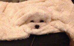 【w】タオルと同化してる犬が話題に「忍び?!」「踏んじゃいそうw」