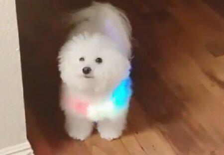 【未来感】ピカピカ光る首輪をした白いふわふわ犬が想像以上に可愛いw