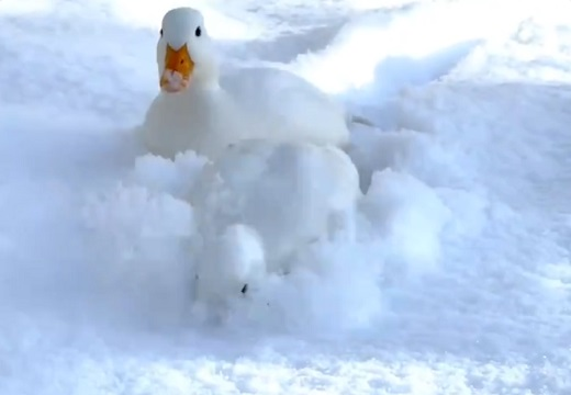【w】雪をかきわけながら猛進する2羽のアヒルが話題に「楽しそう!」