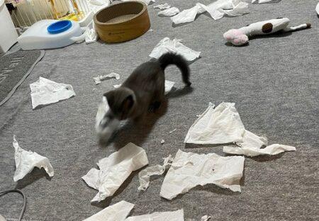 【!】「大暴れ!」の子猫が可愛いすぎて大反響「大惨事w」