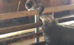 【動画】仲良く遊ぶ猫と羊が話題に「すごくほのぼの!」「どっちも可愛い」