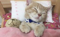 【こねこ】ベッドでぬいぐるみと眠る子猫が話題に「寝姿かわいい!」「手がw」