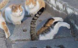 【2コマ】側溝に飛び降り中から顔を出す猫と、仲間猫たちの反応が話題にw