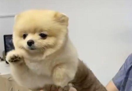 【動画】得意げにエアー犬かきするわんこ、空を飛んでるみたいで話題にw