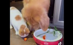 【やさしい】水から出ちゃった金魚にオロオロする猫と救助する犬が話題に