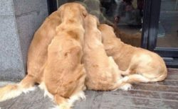 【子猫!】4頭のゴールデンが密集して覗き見する様子が可愛いすぎるw