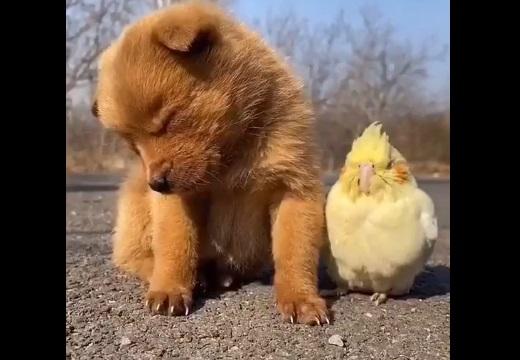 【動画】子犬が寝落ち!隣にいたインコのリアクションが話題にw