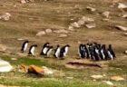 【w】「2つのペンギンの群れがすれ違う時・・」の動画が話題に「人間みたい!」