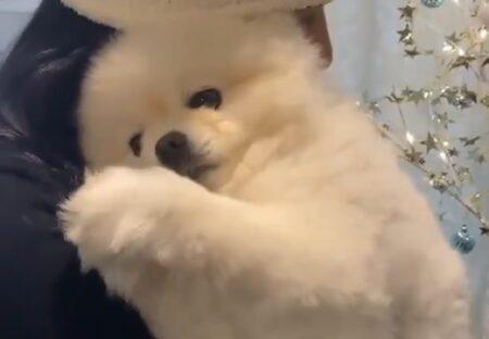 【動画】抱っこで甘えるふわふわポメラニアンがたまらなく可愛い!