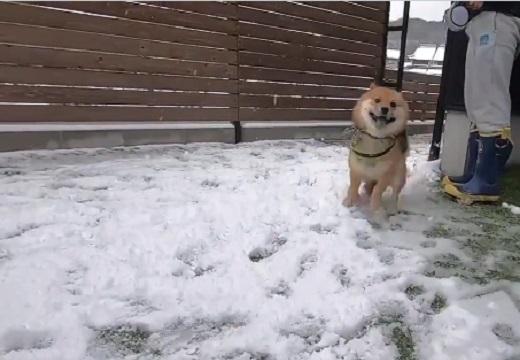 【動画】初めての雪に大喜びする柴犬くんがめちゃくちゃ可愛いw