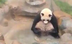 【ご機嫌】温泉で足パタパタするパンダが話題に「人間みたいw」