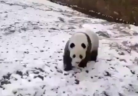 【動画】ごろんごろん・・どこまでも転がっていくパンダが可愛いすぎるw