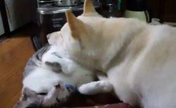 【動画】猫まくらと犬、めちゃくちゃ可愛いw