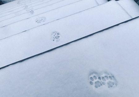 【ほのぼの】雪に残った可愛いすぎる猫の足跡、各地で発見され話題に