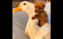 【ひゃー】アヒルと子犬の動画が話題に「どっちも可愛いすぎ」「ずっと見てる」