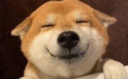 【w】散歩を察知した柴犬の表情が話題に「幸せそう」「嬉しそう」