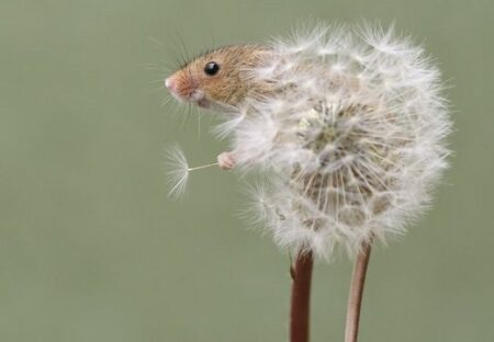 【ちっさ】わたげに乗る日本最小のネズミ、可愛いすぎるw