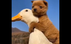 【感動】アヒルと子犬の愛と友情に外国人もニッコリ