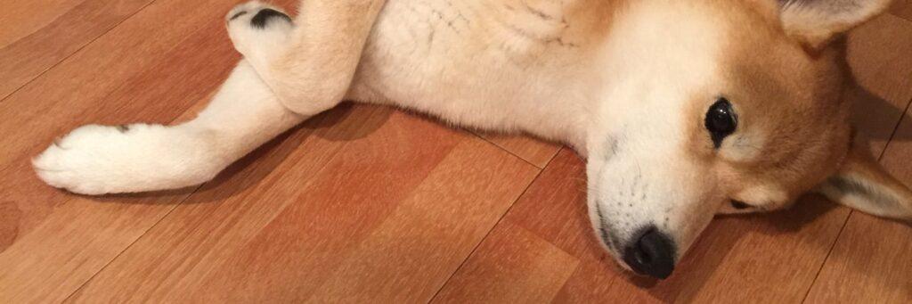 【w】あと少しで散歩が終わることに絶望している犬、可愛すぎると話題に
