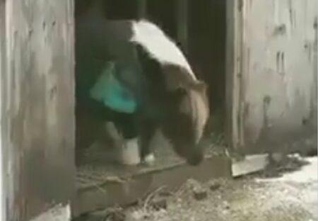 【モジモジ】なかなか踏み出せないポニー、勇気出してジャンプする様子が可愛いすぎるw