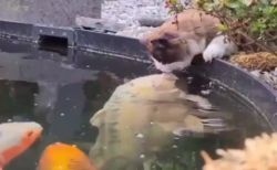 【動画】「ちゅっ」鯉とキスをする猫、可愛すぎて海外勢もほんわかしてしまう