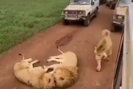 【w】道路でライオンがにゃんにゃんゴロゴロしてて進めないんだが・・・ サバンナの光景に外国人もほっこり