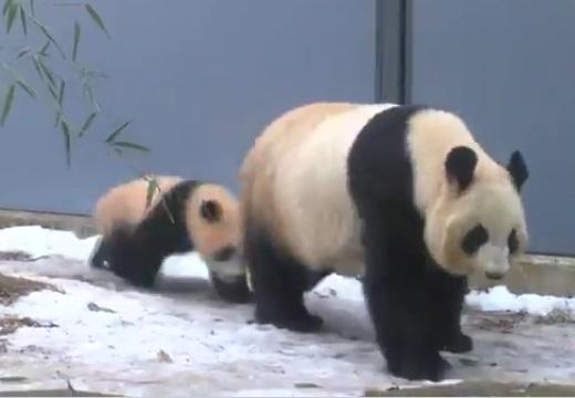 【爆笑】子パンダが膝カックンをキメる動画が話題に「声出たw」
