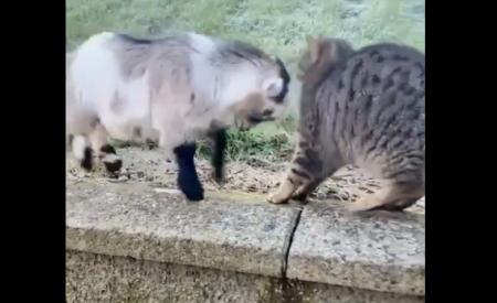 【動画】小ヤギの勢いに、さすがの猫もビビる
