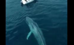 【壮大】シロナガスクジラが潮を吹く瞬間をとらえた映像に外国人も満足のいくご様子