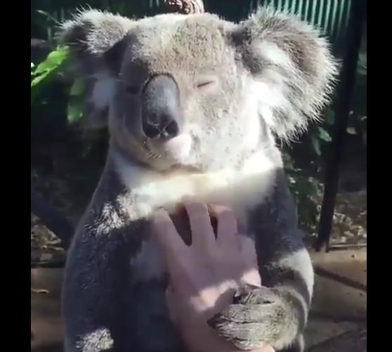 【動画】マッサージを受けるコアラの表情、気持ち良さそう