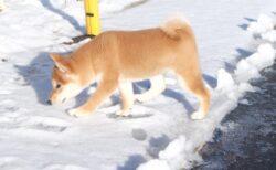 【泣いた】迷子になった柴の子犬、5日後に無事保護される。再会の瞬間が感動的