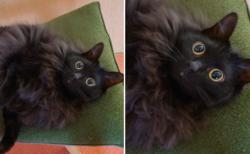 この美しいモッフモフの黒猫ちゃんの表情、可愛すぎた