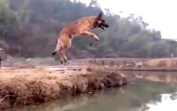 【すごい!】ベルギーの犬、ジャンプで川を飛び越えてしまう! これには外国人も大興奮!