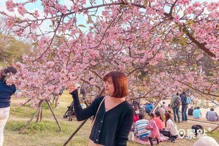 【櫻花】台湾で桜満開!