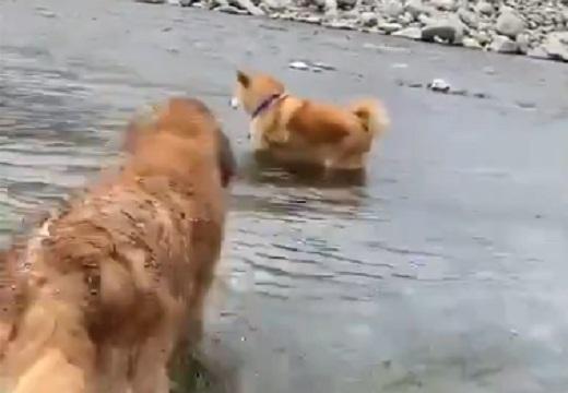 【泣いた】ゴールデンレトリバー、柴犬が川で怯え動けなくなってる事を察し救助