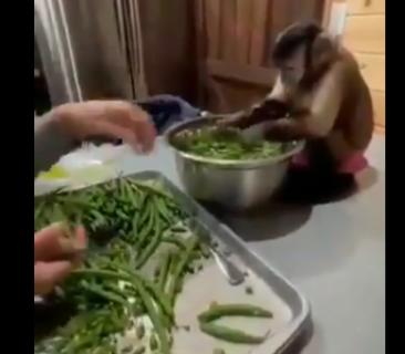 【動画】料理の仕込みを手伝ってくれる猿がお利口さんだと海外で話題に! 外国人もびっくり仰天!