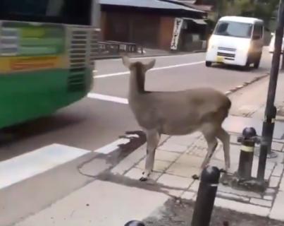 海外「なんて賢いんだ」 交通ルールを遵守する奈良の鹿に外国人感動!