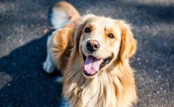 【激しいw】主人の帰宅を全身全霊で歓迎する大型犬が話題に「されてみたい!」