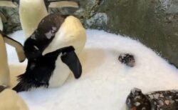 【にょきっ】独りだけ雪に埋まり顔だけ出してるペンギンが話題に「周りも面白いw」